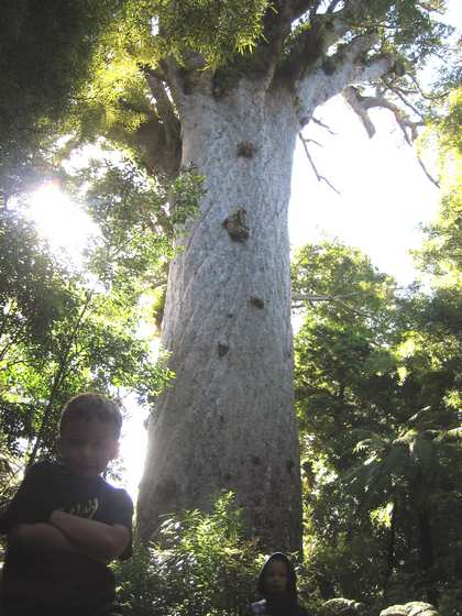 Tue, 30 Jan 2007: Far North, Biggest Tree in New Zealand